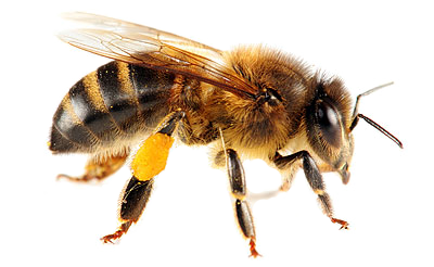 bee_PNG16